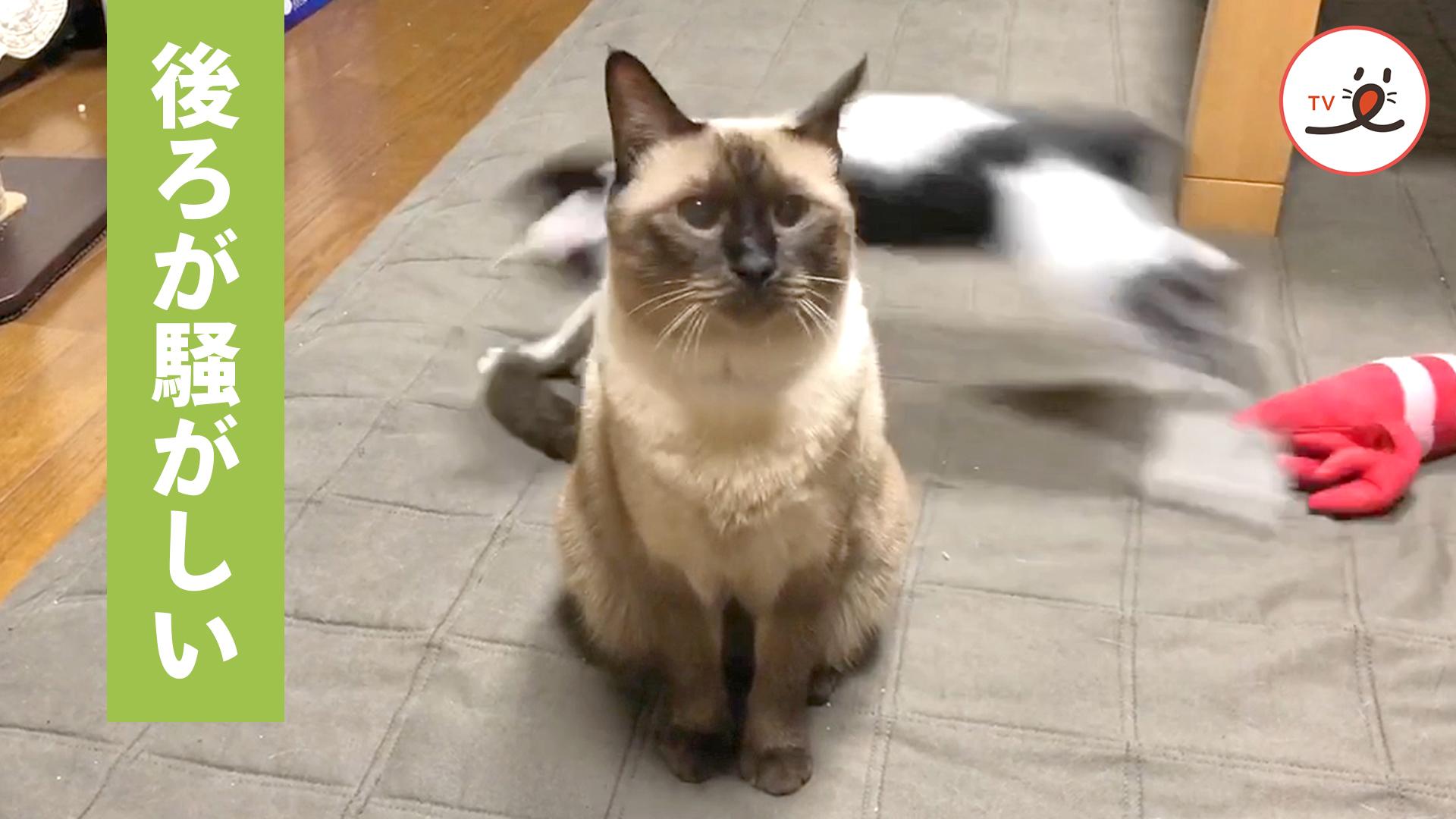 お姉ちゃんのシッポで遊ぶ弟猫🐱🎶 お姉ちゃん、最初はスルーしてたけど…😅