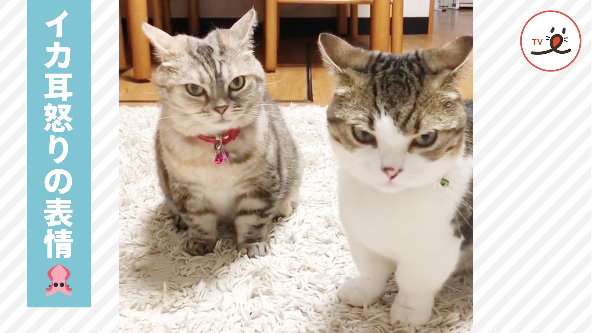 耳をピンと立てる「イカ耳」実は猫一族に受け継がれる奥義イカ耳拳!? 😳