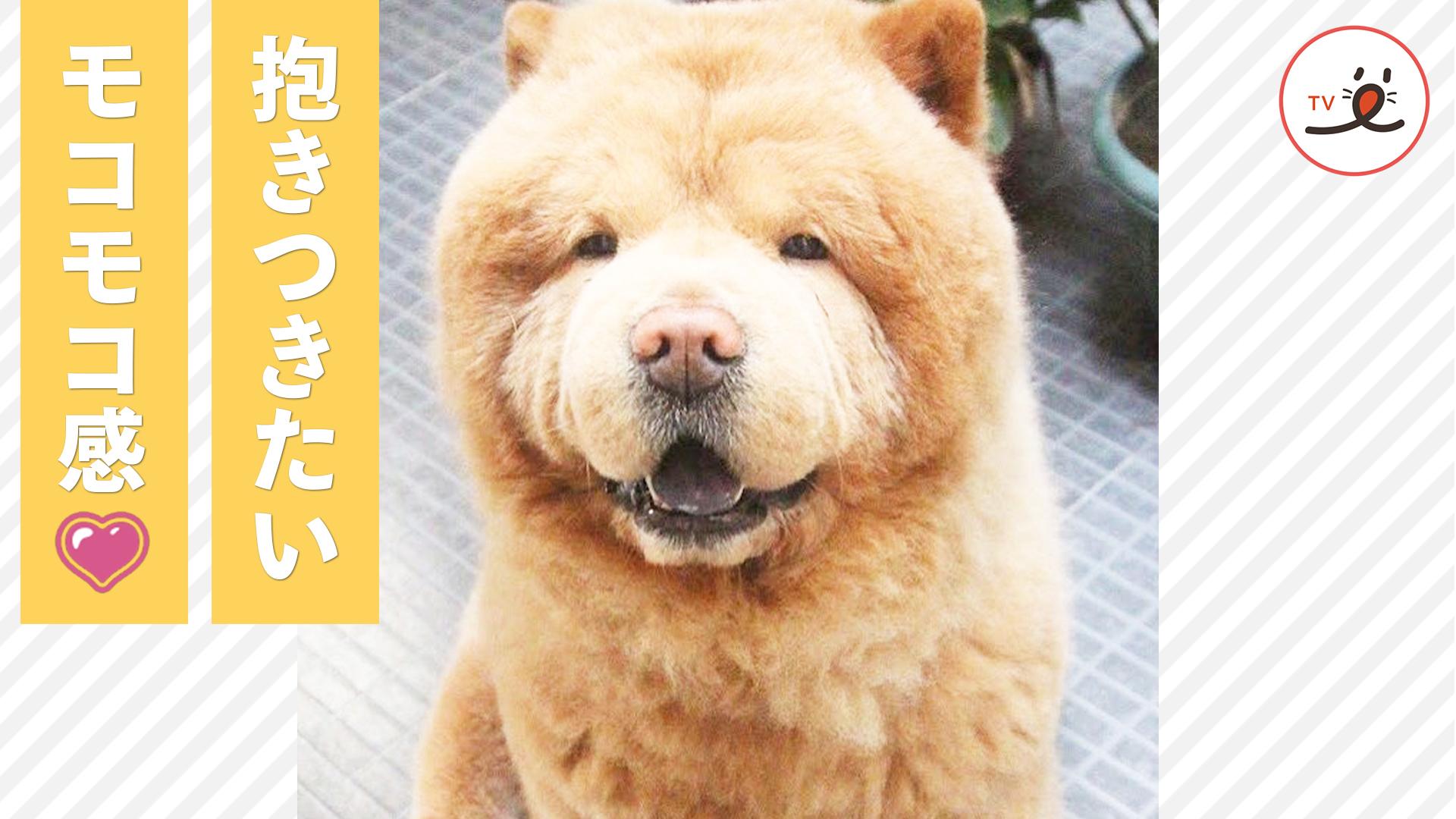 子犬の頃からクマさんのような見た目♡ 大きく成長したチャウ・チャウ犬は…