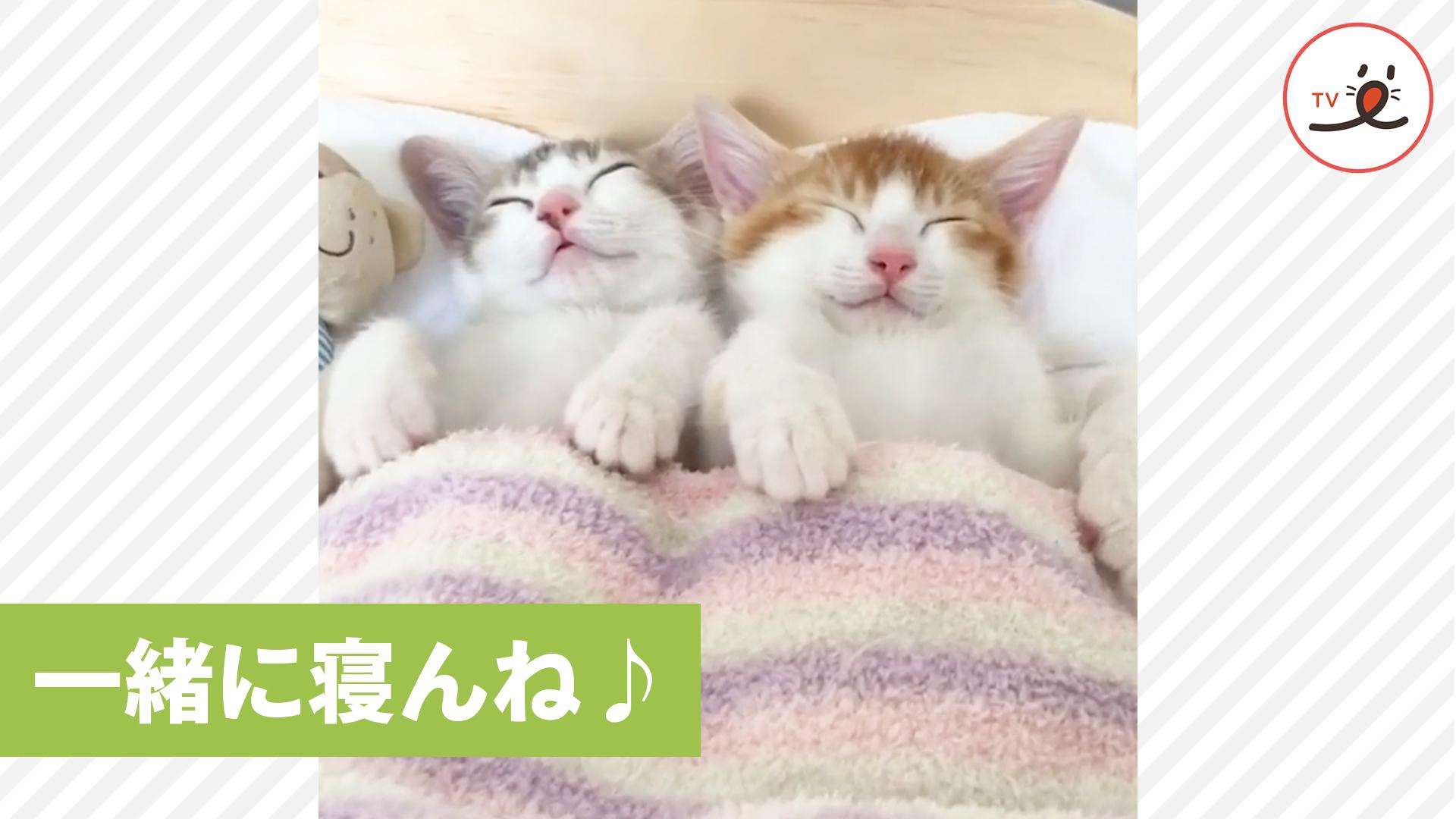 一緒に寝んね♪ ベッドでスヤスヤ双子の子猫