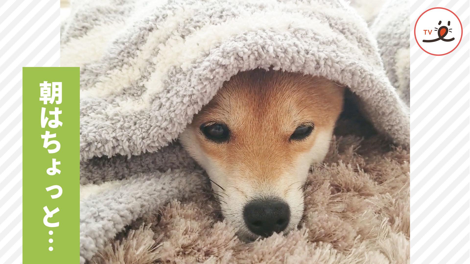 お布団の中でおネムな柴犬さん😴 朝はちょっと苦手なの💦